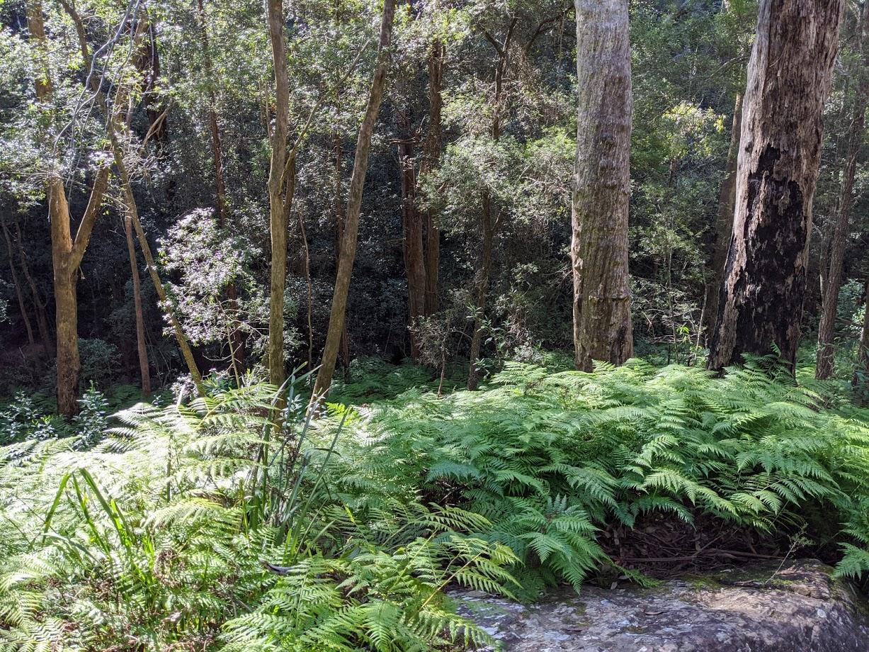 birdwood gully springwood bushwalk ferns