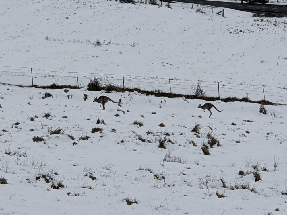 kangaroos in the snow, oberon, blue mountains
