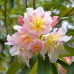 Local's #1 Garden - The Delightful Campbell Rhododendron Gardens Blackheath