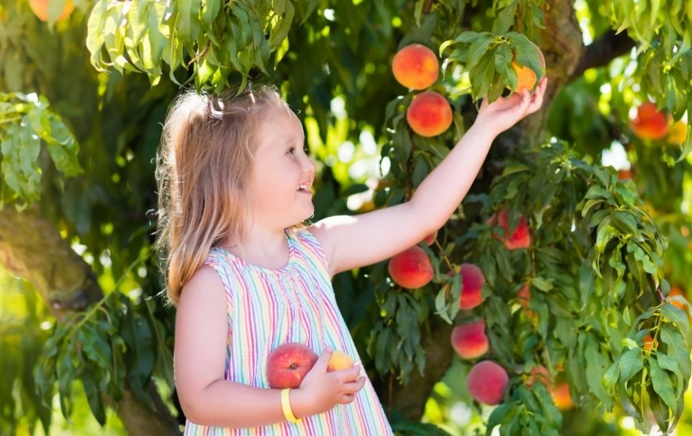 Pick Your Own Fruit Blue Mountains, peaches