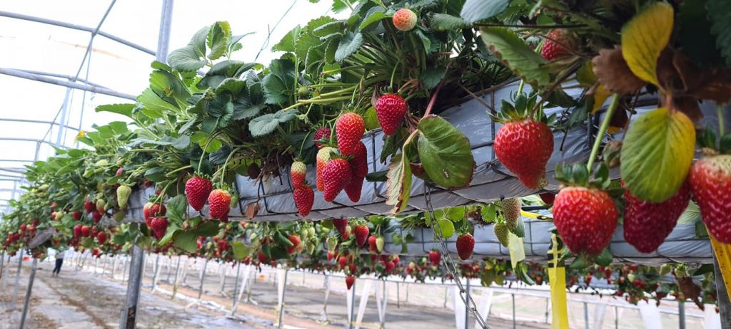 pick your own fruit strawberry picking thirlmere