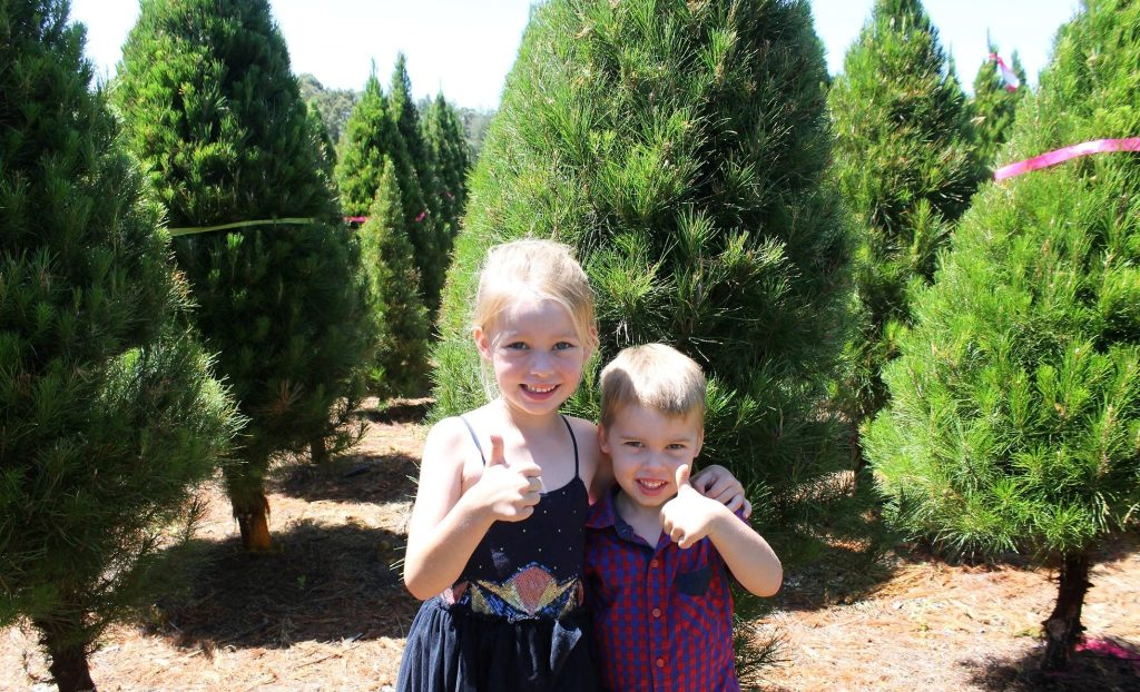 buy a real Christmas tree blue mountains, dural Christmas tree farm