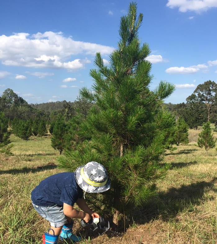 buy a real Christmas tree blue mountains, glenmore Christmas tree farm