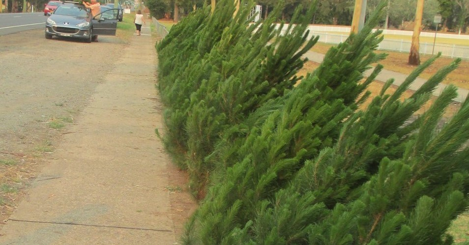 buy a real Christmas tree blue mountains, lion's club emu plains