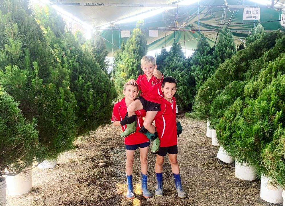 buy a real Christmas tree blue mountains, Willy's Christmas tree farm