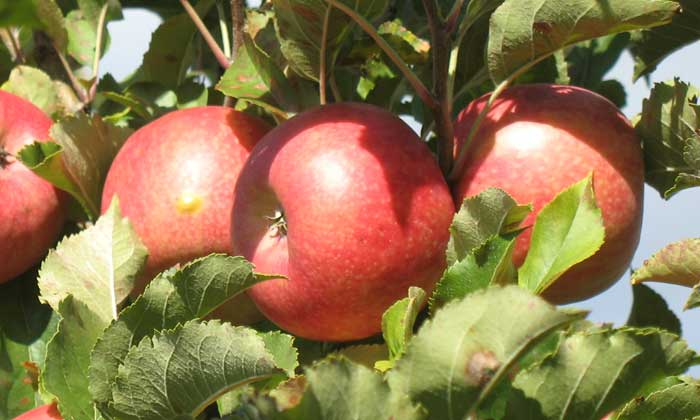 bilpin springs orchard blue mountains pick your own fruit