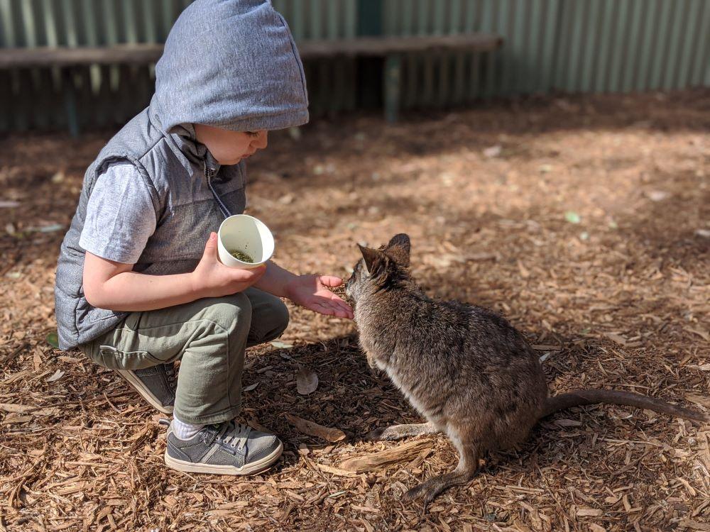 featherdale sydney boy feeding a wallaby