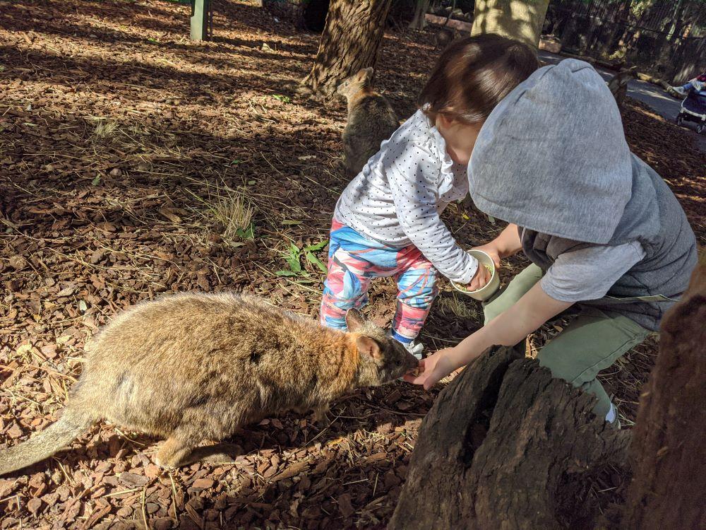 featherdale sydney kids feeding a wallaby