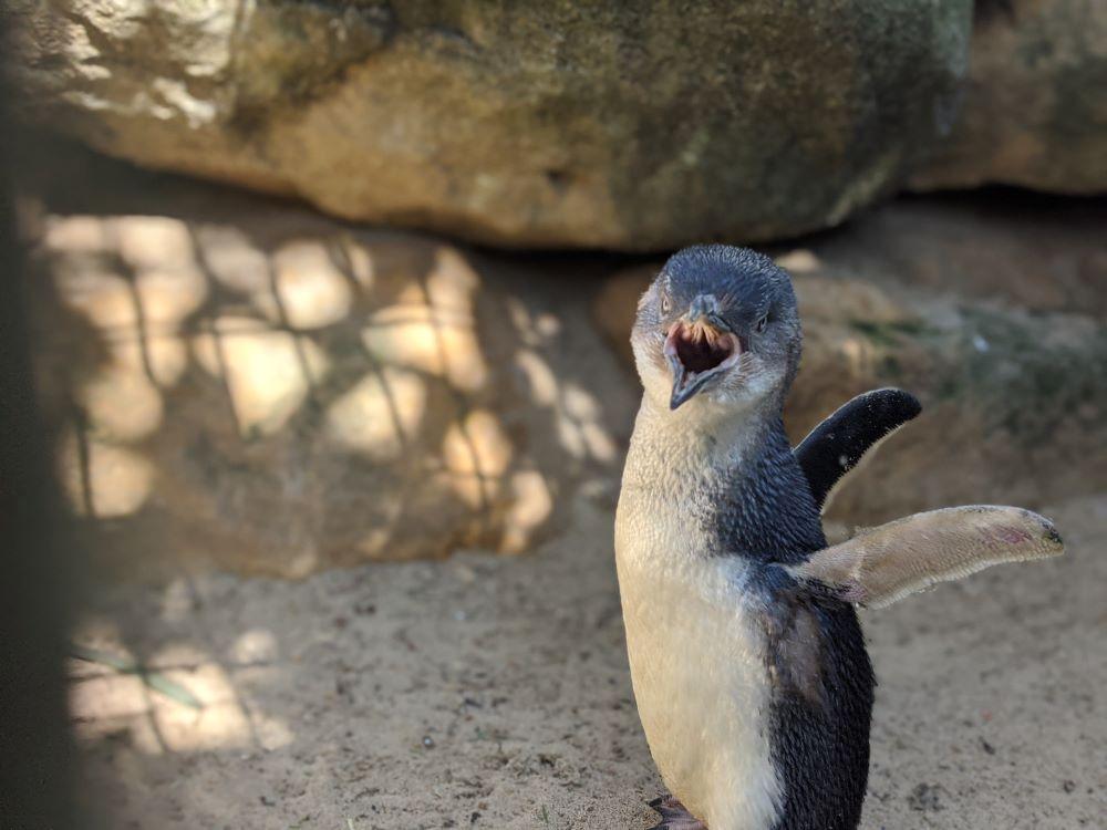 featherdale sydney penguin