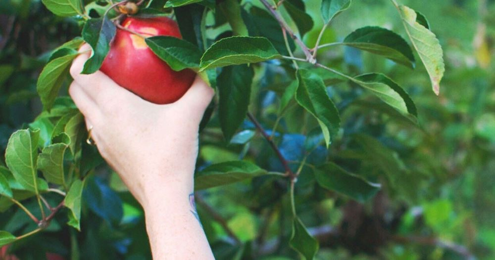 tnt pick your own fruit apples blue mountains
