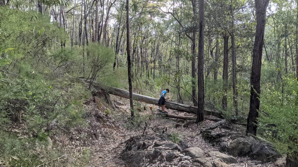 Duck Hole Track Glenbrook huge fallen tree
