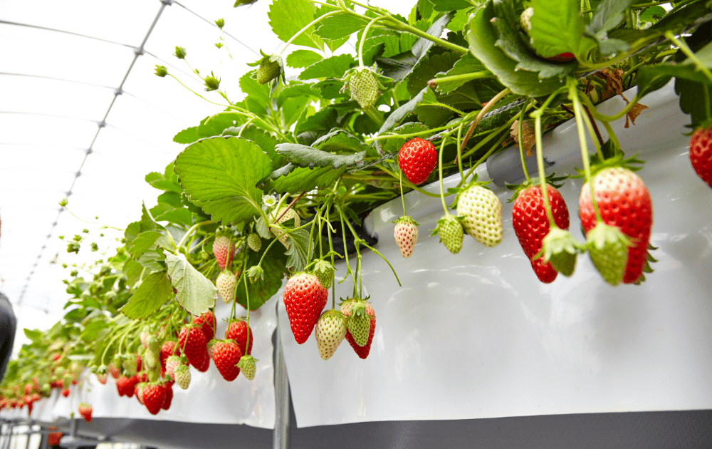 pick your own fruit strawberries on the vine ready to pick